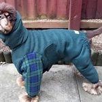 American Cocker Spaniel Cocker in dog coat