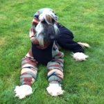 Afghan Hound Monty in dog coat