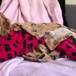 Australian Labradoodle Miniature Amber in dog onesie