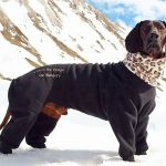 Bavarian Mountain Hound in dog coat