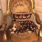 Beagle Mimi in fleece dog coat
