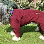 Bearded Collie Arry in dog bodysuit
