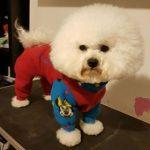 Bichon Freddy wears designer dog coats