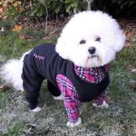 Bichon Harper has winter dog coats