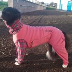 Border Collie Annie has designer dog coats