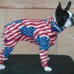 Boston Terrier - Dixie