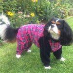 Cavalier King Charles Spaniel Lola in her dog bodysuit
