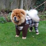 Chow Chow - Chester