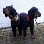 Gordon Setters - Lawrie & Leah