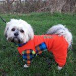 Lhasa Apso Leo in dog coat