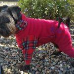 Miniature Schnauzer Rosie in her dog onesie