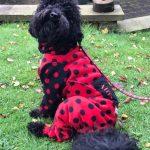 Miniature Poodle - Alfie sat