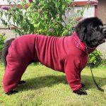 Newfoundland Ruby needs dog coats for large dogs