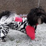 Shih Tzu Lilo likes winter dog coats