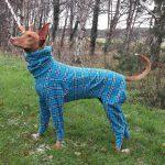 Spanish Podenco Artax needs dog winter coats