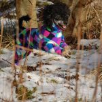 Toy Poodle Kizzi in her dog coat for winter