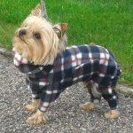 Yorks Terrier - Kika